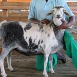 05_Harlequin_Speckled_Persian_Sheep_Australia